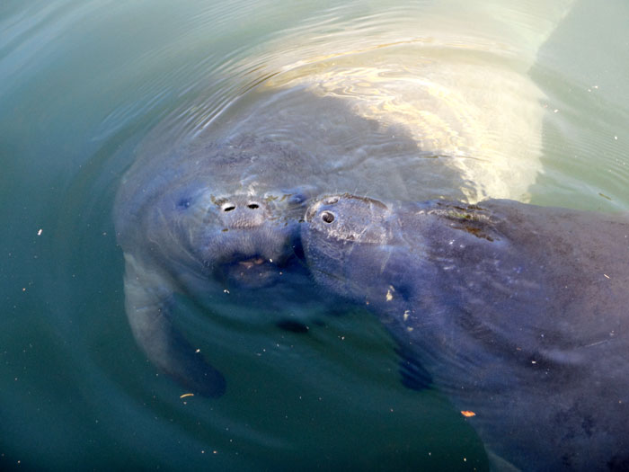 Lovable Manatees in Crystal River Florida